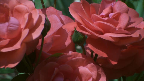 Pink And Red Roses In A Botanical Garden, Wind, Su Footage