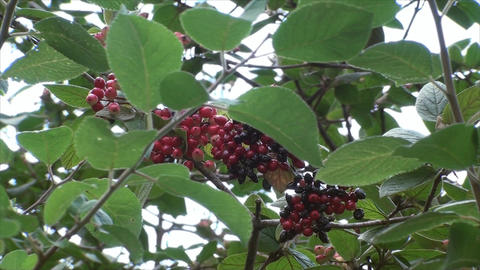 Wild Berries On A Branch Blown By The Wind, Botani Live Action