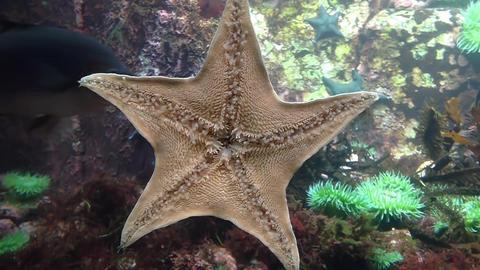 Motion of starfish underwater inside fishtank Footage