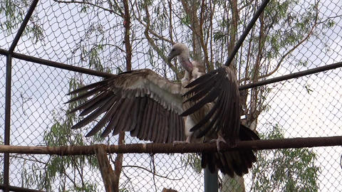 A giant Vulture open its larger wings sitting on a Footage