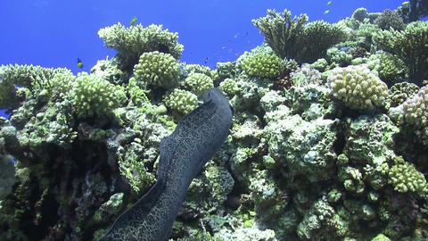 Murena on Coral Reef Footage