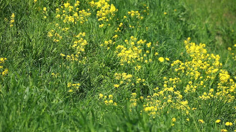wind rustles yellow flowers on a green meadow Footage