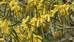 Flowers and Leaves on a Wattle Tree Footage
