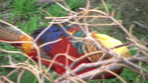 Golden Pheasant Stock Video Footage