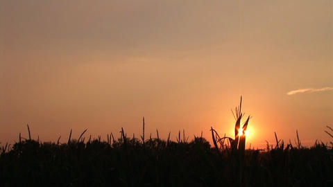 Cornfield Sunset Time Lapse Stock Video Footage