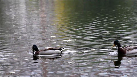 Duck in autumn pond Stock Video Footage