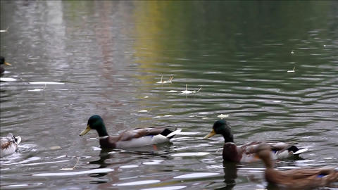 Duck in autumn pond Footage