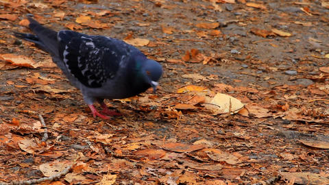 pigeon in autumnal garden Stock Video Footage