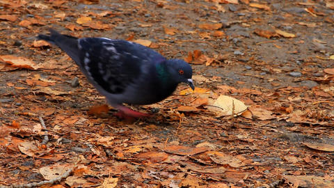 pigeon in autumnal garden Footage