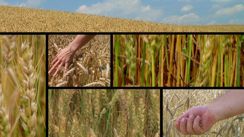 Wheat Crop Composite Stock Video Footage
