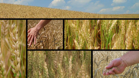 Wheat Crop Composite Stock Video Footage