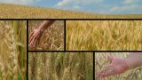 Wheat Crop Composite stock footage