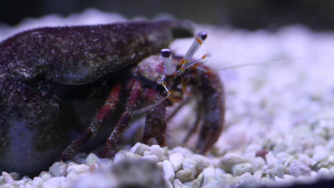 Marine crab Footage