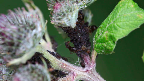 Ants and aphids Footage