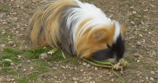 Guinea Pig 4k 01 stock footage