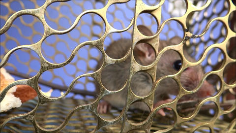 Rat In The Prison Timelaps stock footage