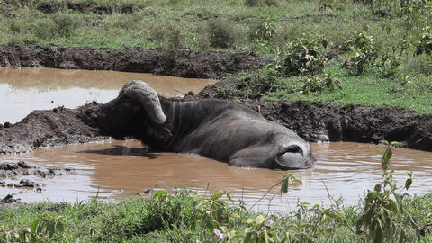 Buffalo In Mud Footage