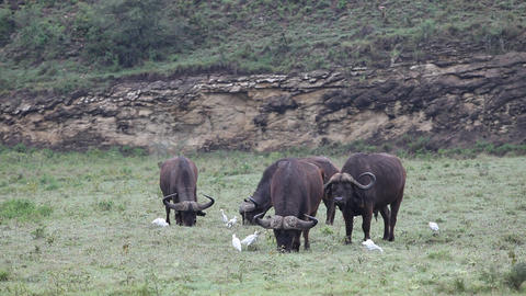 Four buffalo grazing in the field. Africa Footage
