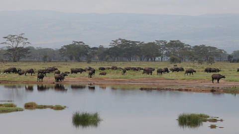 A large herd of buffalo eating grass Footage