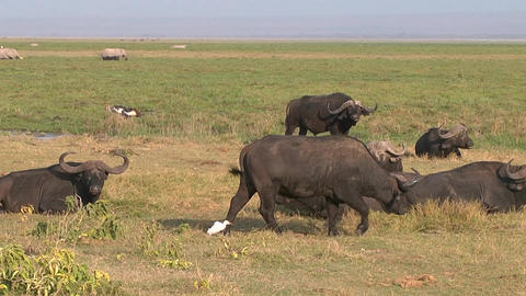 African buffalo eating grass in a field. Kenya Footage