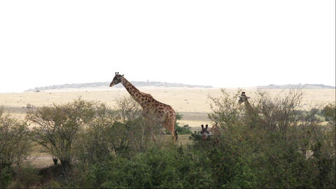Giraffe Adult With Young Walking In Savanna, Masai, Live Action