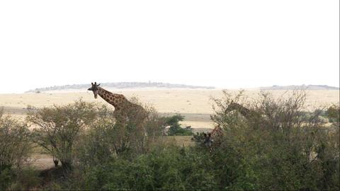 Giraffe Adult With Young Walking In Savanna, Masai Stock Video Footage
