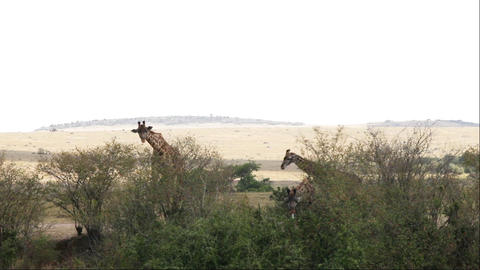 Giraffe Adult With Young Walking In Savanna, Masai Live Action