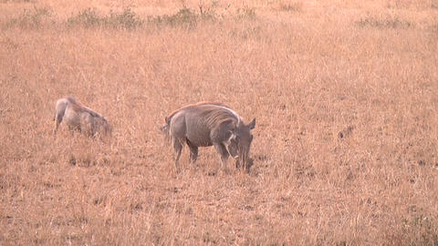 Warthog (Phacochoerus aethiopicus) family eating i Footage