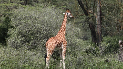 Giraff in the savanna. Kenya Live Action