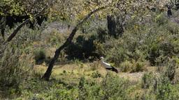 Stork In Preserve stock footage