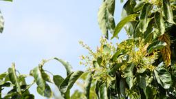 Avocados Leaf stock footage