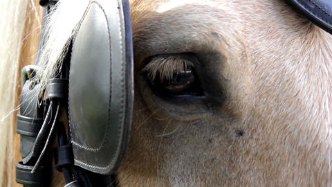 Brown horse with a leather strap Footage