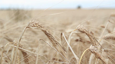 Closer image of a wheat stock Footage
