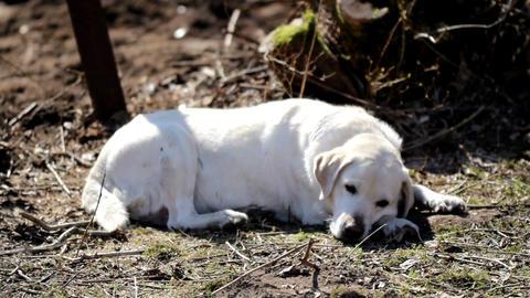 White labrador retriever sleeping Footage