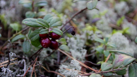 Up-close image of cherries and also small shrubs Footage