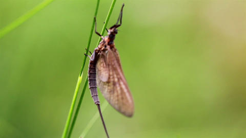 Dragonfly sticking on the grass stalk despite the  Footage