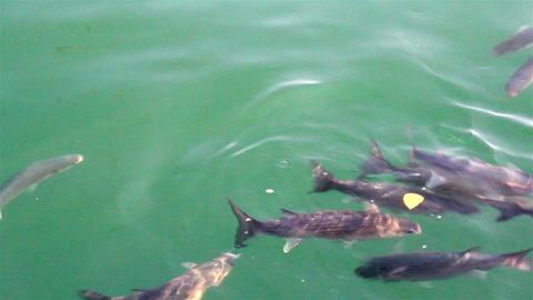 School of fish swimming fish farm Footage