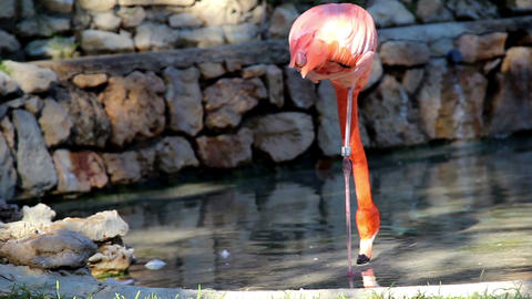 Flamingo standing on one leg one-legged ostrich Footage