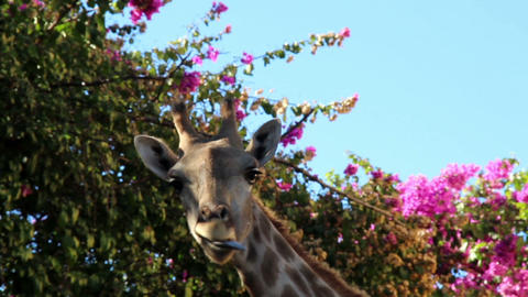 Giraffe chewing under a bougainvillea plant Footage