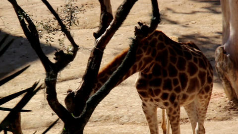 Family of two giraffes eating bush Footage