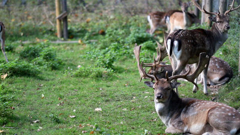 Herd Of Wild Deer With Antlers stock footage