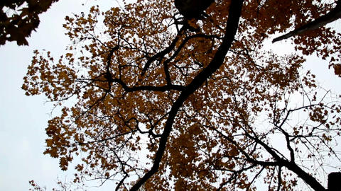 Upward view of the tall maple trees autumn park ci Footage