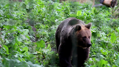 Grizzly brown bear walking in the green luscious a Footage