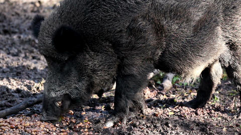 Black wild boar chewing Footage