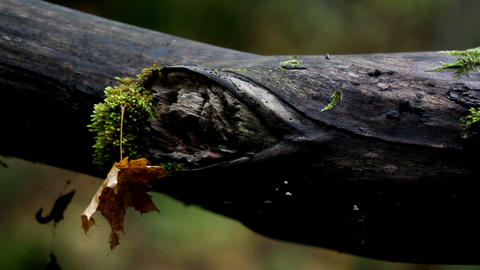 Tree branch with moss and an attached withered lea Footage