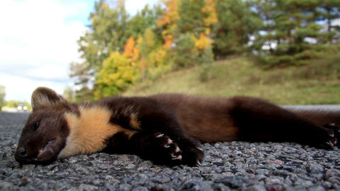 Dead European pine marten Martes animal at the sid Live Action