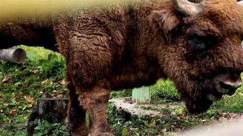 Brown buffalo eating grass Footage
