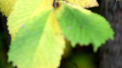 Elm Ulmus close up of leaf Footage
