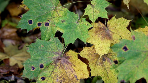 Black spots found on the maple leaves Footage