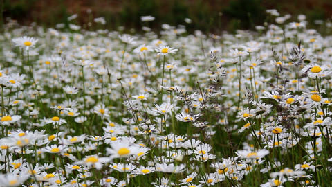 1390 Lots of white daisies on the fieldaLots of wh Footage